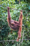 Full day tour - Sepilok Orangutan Rehabilitation Centre