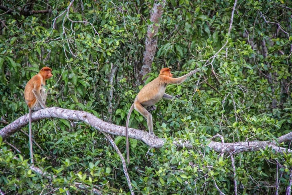Proboscis monkeys - afternoon tour to Klias Wetlands