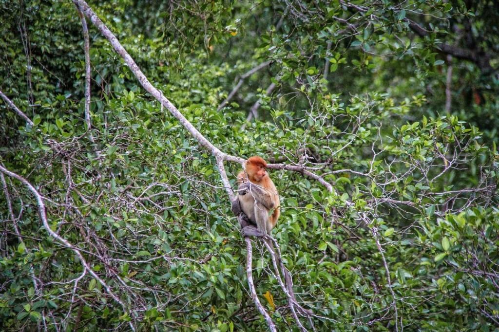 Proboscis monkey - afternoon tour to Klias Wetlands