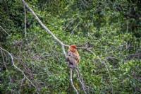 Proboscis monkey - afternoon tour to Klias Wetlands