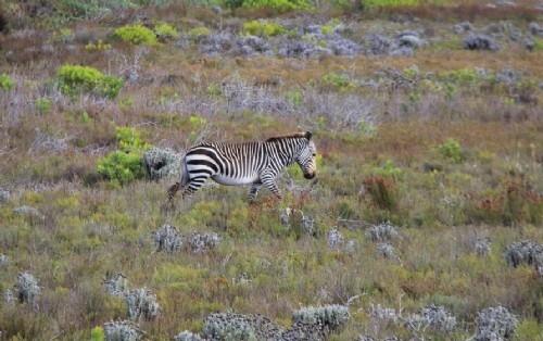 Zebra at Cape Point