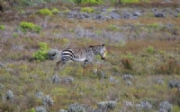 Zebra at Cape Point