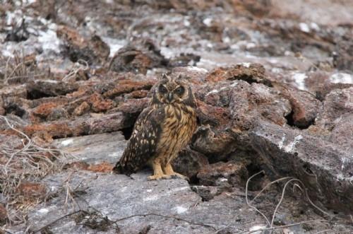 Short-eared owl, Genovesa Is