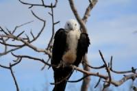Juvenile frigate bird, North Seymour Is