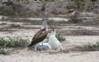 Blue footed boobie feeding her young