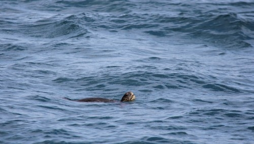 Sea turtle - Punta Pitt, San Cristobal Is