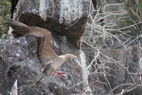 Coming in to land - Red footed boobie