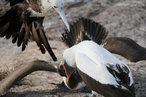 A frigate bird tries to steal food during feeding