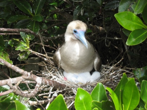 Red footed boobie with her chick