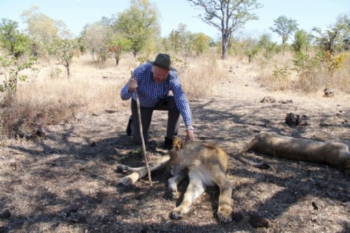 Lion Encounter, Victoria Falls