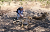Lion Encounter, Victoria Falls